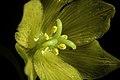Fritillaria camschatcensis fma. flavescens (L.) Ker Gawl., Bot. Mag. 30 t. 1216 (1809) (49973716588).jpg