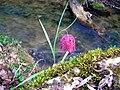 Fritillaria meleagris 1.jpg