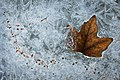 Frozen Leaf (6886708197).jpg