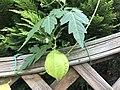 Fruit of Cardiospermum halicacabum 20190912.jpg