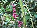 Fruit of Dendrocnide moroides.jpg