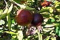 Fruit trees עצי פרי (49).JPG