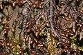 Frullania tamarisci (a, 144607-474851) 2050.JPG