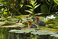 Fulica americana -Klamath Falls, Oregon, USA -chicks-8.jpg