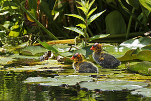 American Coot chicks near Klamath Falls, Orego...