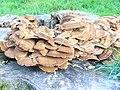 Fungus at Albury - geograph.org.uk - 988375.jpg