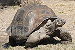 A dome-shelled Galápagos giant tortoise