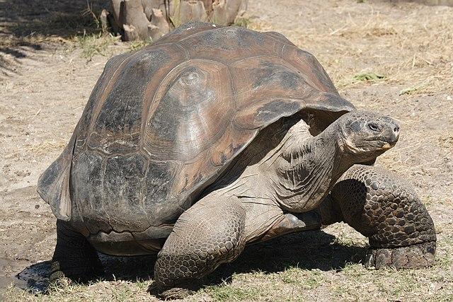 Najväčším druhom korytnačky je korytnačka slonia - až 1,2m a 300kg