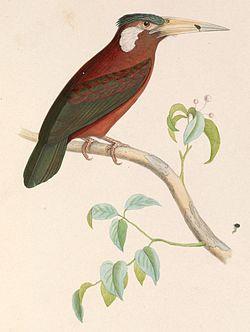 Galbalcyrhynchus leucotis 1849.jpg