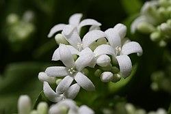 Galium odoratum Flower.JPG