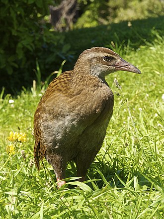 Weka - In the South Island, New Zealand