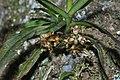 Gastrochilus sororius insitu.jpg