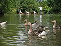 Geese 2008-07-13 15-10.jpg