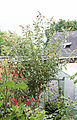 Gelber Sommerflieder (Buddleja weyeriana 'Sungold') (19762905010).jpg