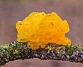 Gele trilzwam (Tremella mesenterica) op dode tak van een eik 15-01-2021. (actm.) 02.jpg