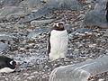 Gentoo Penguin 01 (3433487941).jpg