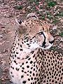 Gepard2.JPG