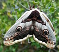 Giant Peacock Moth cropped.jpg