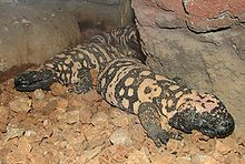 Gila Monsters 001.jpg
