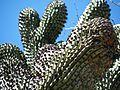 Glandulicereus thurberi (5762310196).jpg