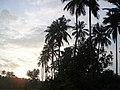 Goa, India 45 Coconut trees by the roadside.jpg