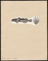 Gobius capito - 1700-1880 - Print - Iconographia Zoologica - Special Collections University of Amsterdam - UBA01 IZ13600055.tif