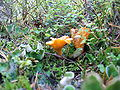 Golden-chanterelles-one-rotting FI-EU 2007-Sep-29 by-RAM.jpg