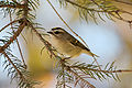 Golden-crowned Kinglet 0324.jpg