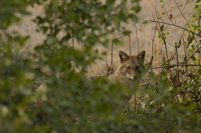 File:Golden jackal (Canis aureus) from keoladeo national park JEG3412.jpg