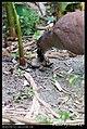 Gorsachius melanolophus (5624299198).jpg