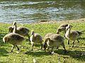 Goslings by Fir0002.jpg