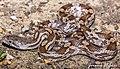 Gray Ratsnake (Pantherophis spiloides)1.jpg