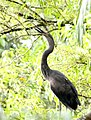 Great-billed Heron (Ardea sumatrana) (31343298675).jpg