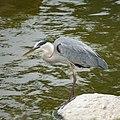Great Blue Heron (48099940366).jpg