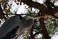 Great Blue Heron in Tree (4074645009).jpg