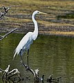 Great Egret on a branch.jpg