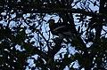 Great Hornbills from Anamalai Tiger Reserve JEG1730.JPG