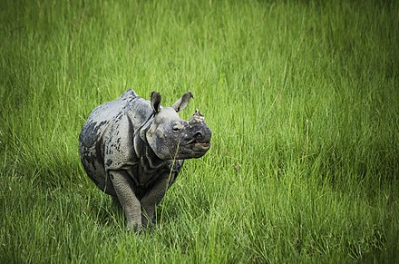 The greater one-horned rhinoceros roams the sub-tropical grasslands of the Terai plains. Great Indian One-Horned Rhinoceros of assam.jpg
