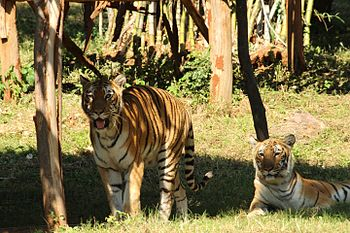 Great Indian Tiger 3 at Indira Gandhi Zoological Park, Visakhapatnam.jpg