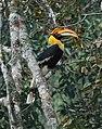 Great hornbill - Buceros bicornis.jpg