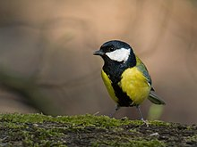 Great tit (Parus major), Parc de Woluwé, Brussels (13042792905).jpg