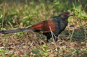 Greater coucal - Nominate race in Kolkata