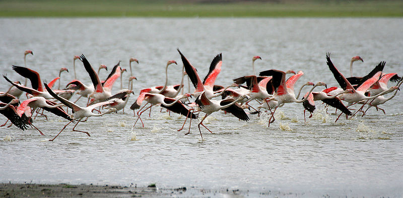 Pink Flamingos Taking off for a Flight