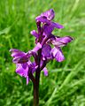 Green-winged Orchid. Anacamptis morio - Flickr - gailhampshire.jpg