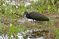 Green Ibis (Mesembrinibis cayennensis) (27212503424).jpg