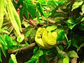 Green tree python snake.jpg