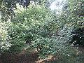 Grewia parviflora vue générale3.JPG
