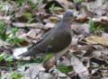 Grey-headed Dove.tif