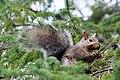 Grey Squirrel 3353 (4983761188).jpg