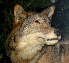Grey Wolf 5.jpg
